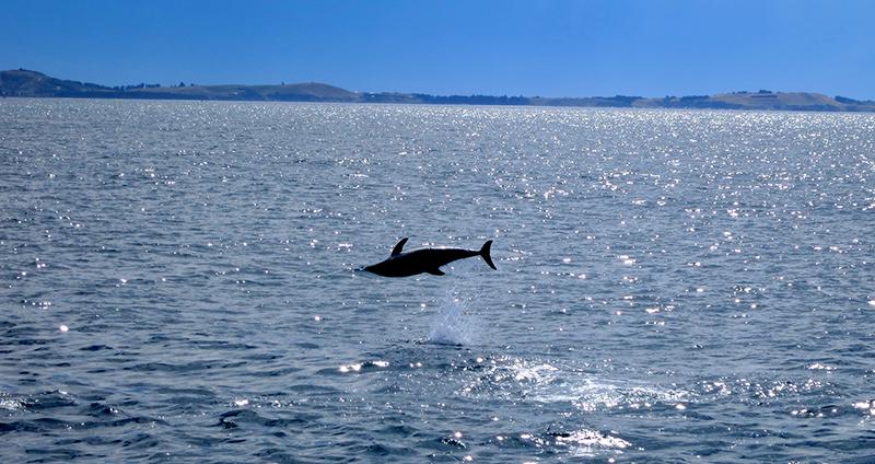 Danser avec les dauphins de Kaikoura (Nouvelle Zélande)