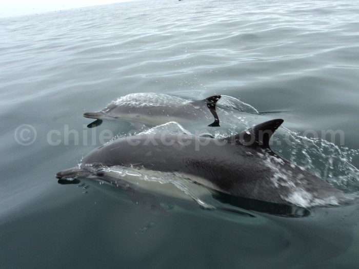 Dauphins a Arica