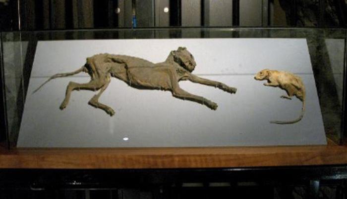 Chat et rat momifiés à Christ Church, une originalité mentionnée par Joyce et souvent nommée Tom & Jerry.