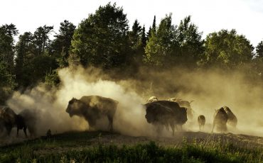 Zoo sauvage de Saint-Félicien bison