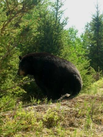 ours brun au zoo de Saint Félicien