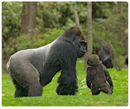 gorille du zoo du Bronx
