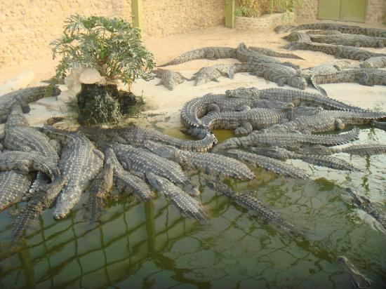 crocodiles à Djerba