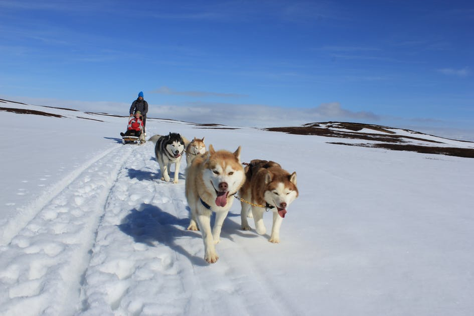 chien traineau islande