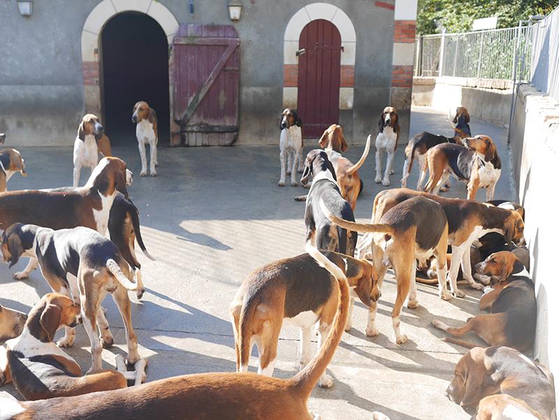 chiens de chasse cheverny