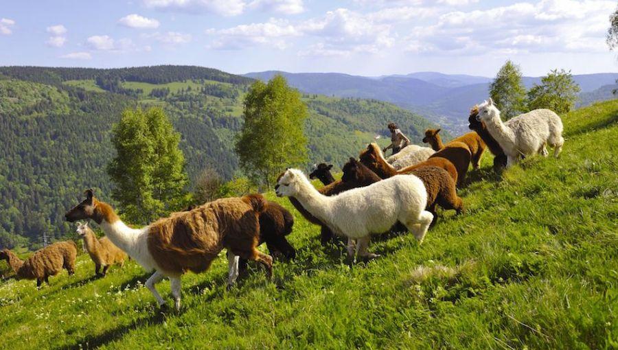 Lamas dans les Vosges