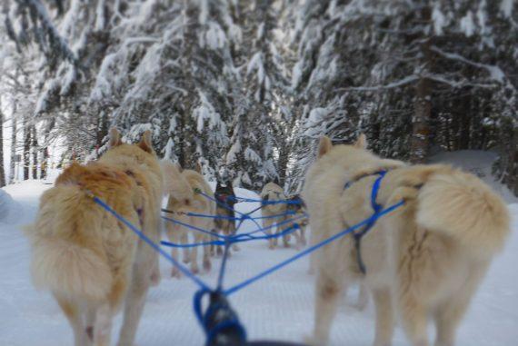 chiens de traineaux villars sur ollon en Suisse