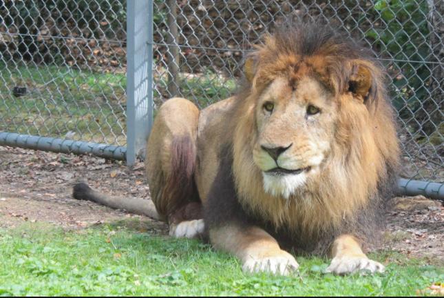 Lion Zoo Safari de Thoiry