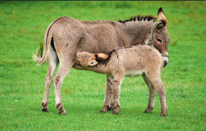 photo d'ânes