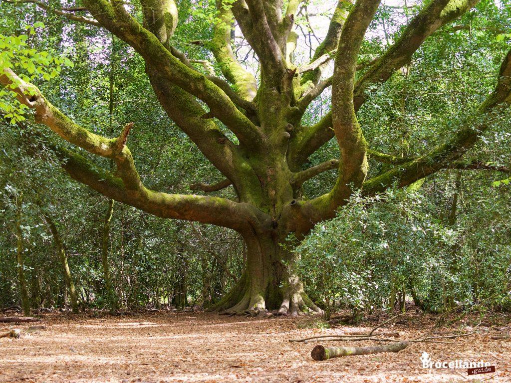 Hêtre de Pontus dans la forêt de Brocéliande