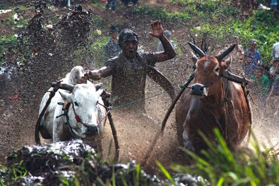 sport insolite Pacu Jawi indonesie