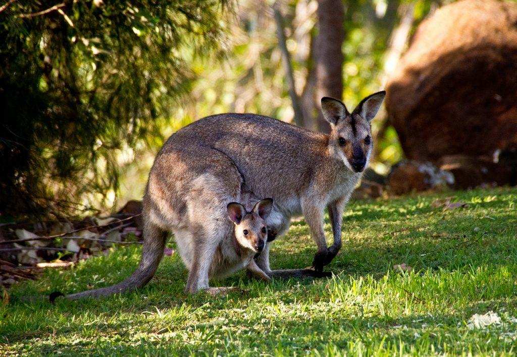 kangourou foret de rambouillet